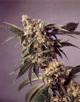 Is My Kid Smoking Pot? (A Parents Guide into the World of